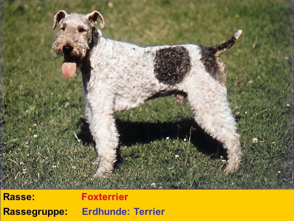 Rasse: Foxterrier Rassegruppe: Erdhunde: Terrier