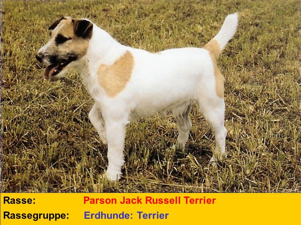Rasse: Parson Jack Russell Terrier Rassegruppe: Erdhunde: Terrier