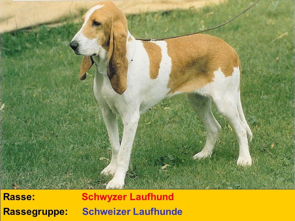 Rasse: Schwyzer Laufhund Rassegruppe: Schweizer Laufhunde