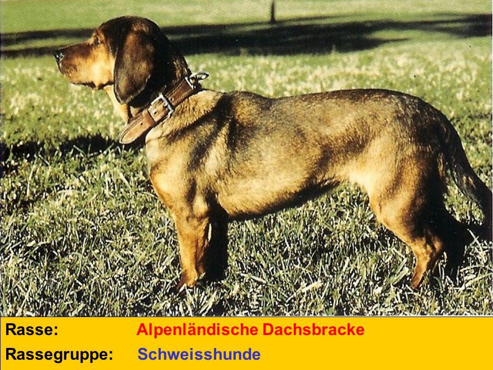 Rasse: Alpenländische Dachsbracke Rassegruppe: Schweisshunde