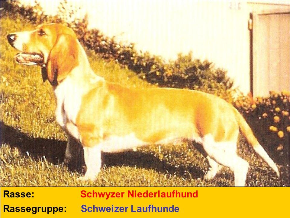 Rasse: Schwyzer Niederlaufhund Rassegruppe: Schweizer Laufhunde