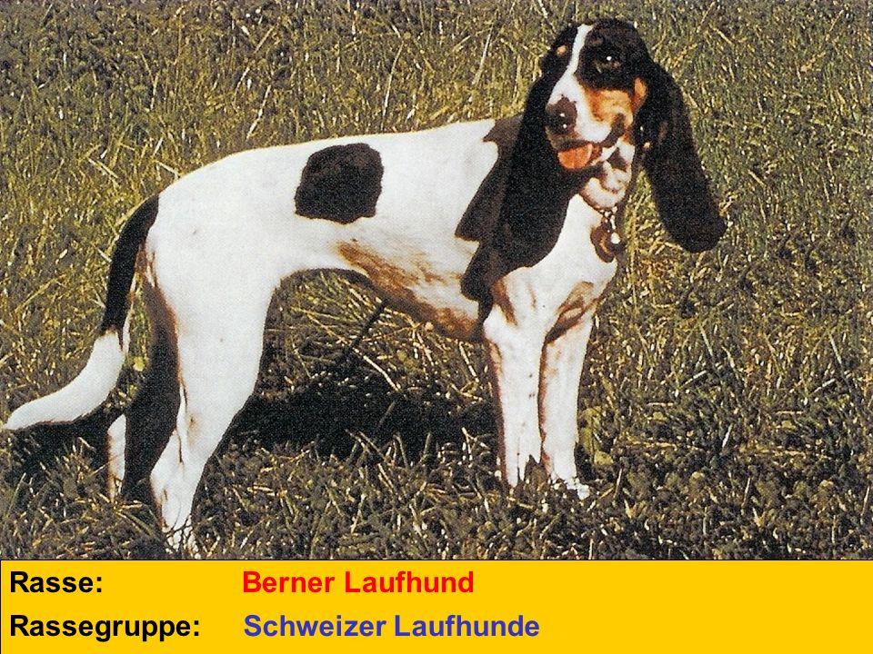 Rasse: Berner Laufhund Rassegruppe: Schweizer Laufhunde