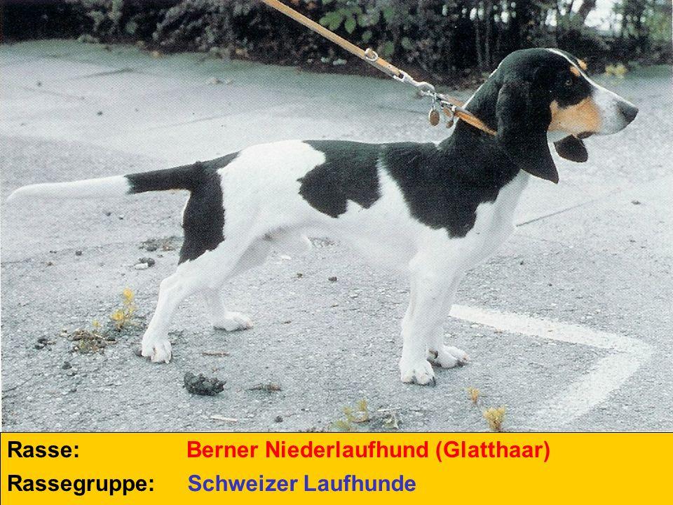 Rasse: Berner Niederlaufhund (Glatthaar) Rassegruppe: Schweizer Laufhunde