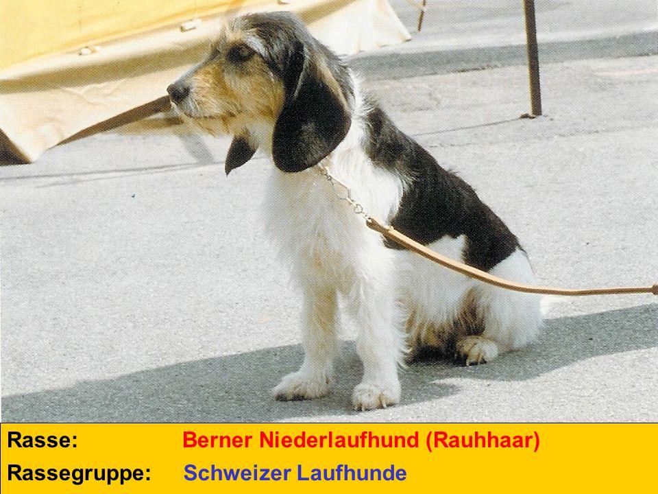 Rasse: Berner Niederlaufhund (Rauhhaar) Rassegruppe: Schweizer Laufhunde