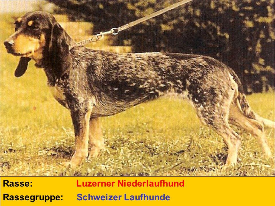 Rasse: Luzerner Niederlaufhund Rassegruppe: Schweizer Laufhunde