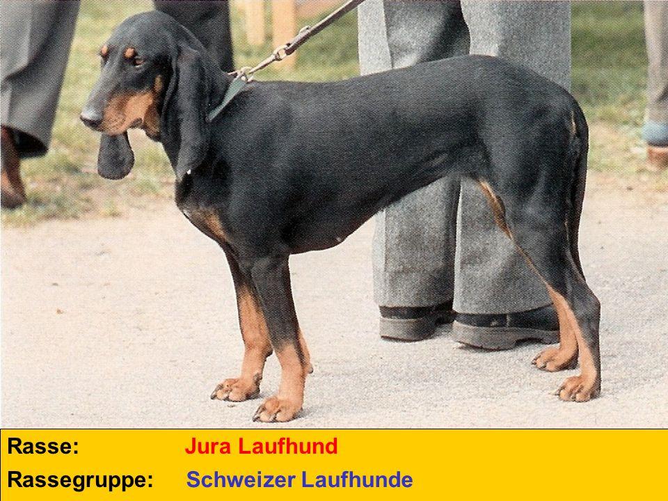 Rasse: Jura Laufhund Rassegruppe: Schweizer Laufhunde