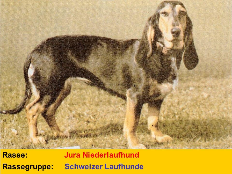 Rasse: Jura Niederlaufhund Rassegruppe: Schweizer Laufhunde