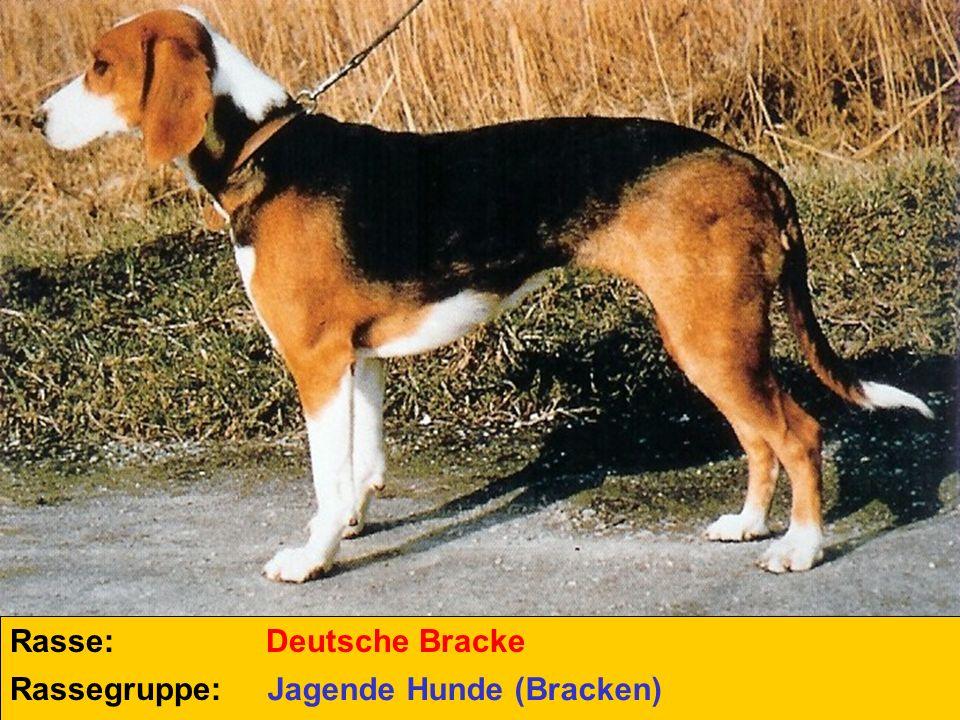 Rasse: Deutsche Bracke Rassegruppe: Jagende Hunde (Bracken)