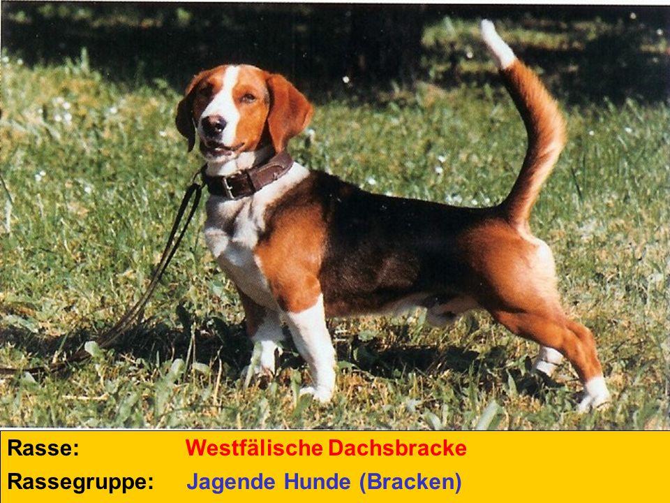 Rasse: Westfälische Dachsbracke Rassegruppe: Jagende Hunde (Bracken)