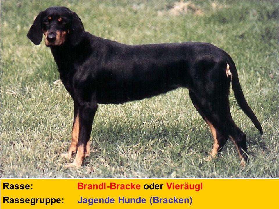 Rasse: Brandl-Bracke oder Vieräugl Rassegruppe: Jagende Hunde (Bracken)