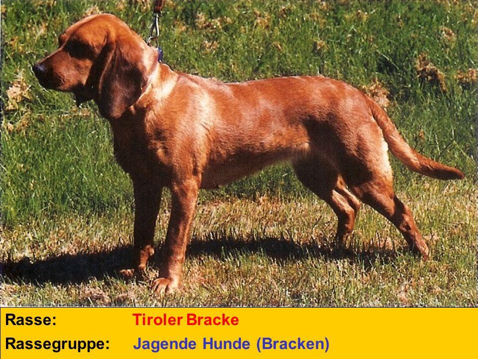 Rasse: Tiroler Bracke Rassegruppe: Jagende Hunde (Bracken)