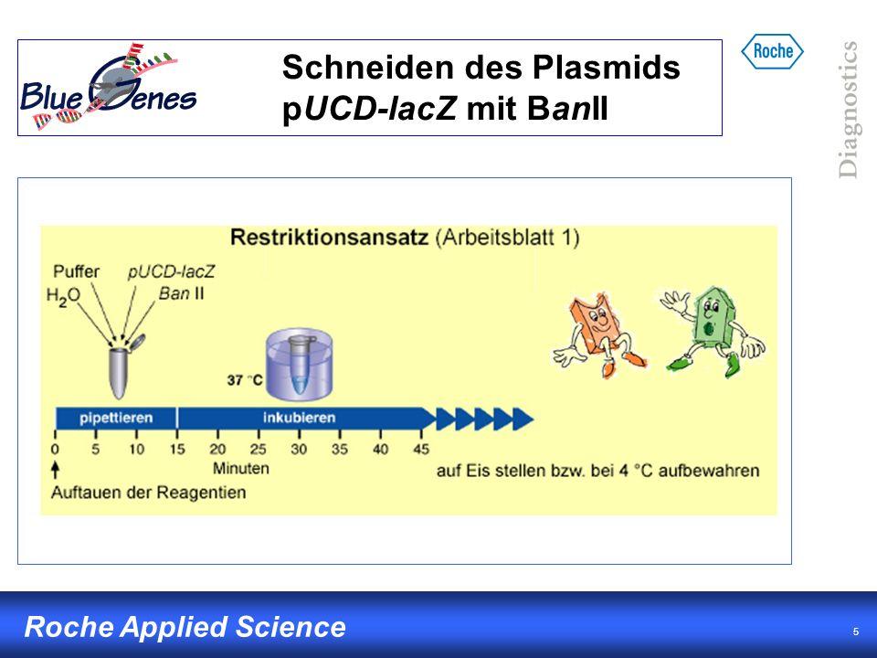 Schneiden des Plasmids pUCD-lacZ mit BanII