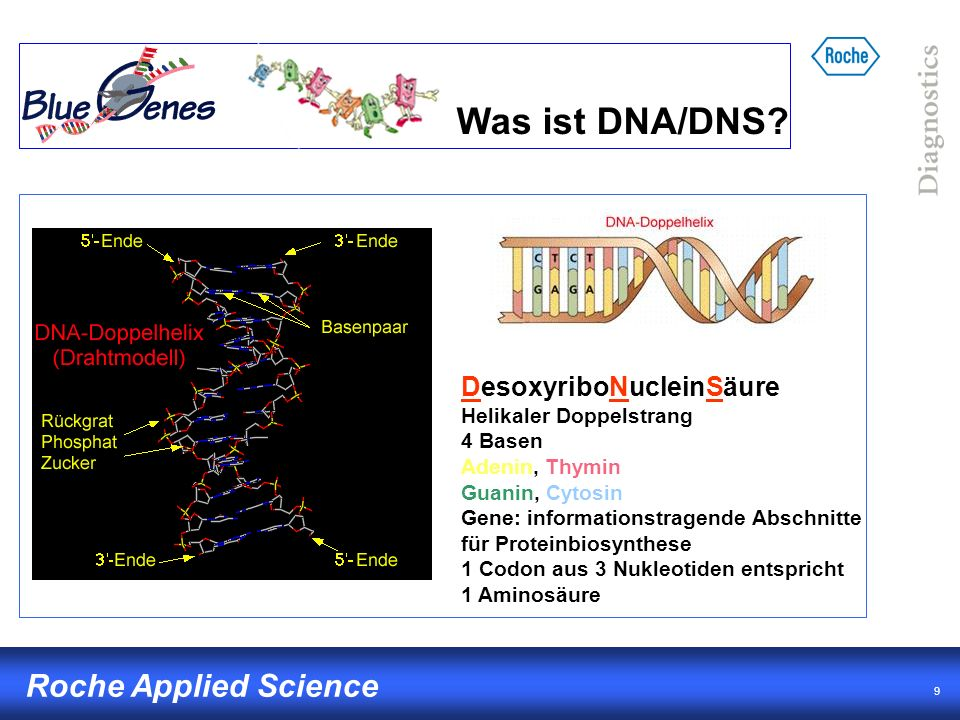 Was ist DNA/DNS DesoxyriboNucleinSäure Helikaler Doppelstrang 4 Basen