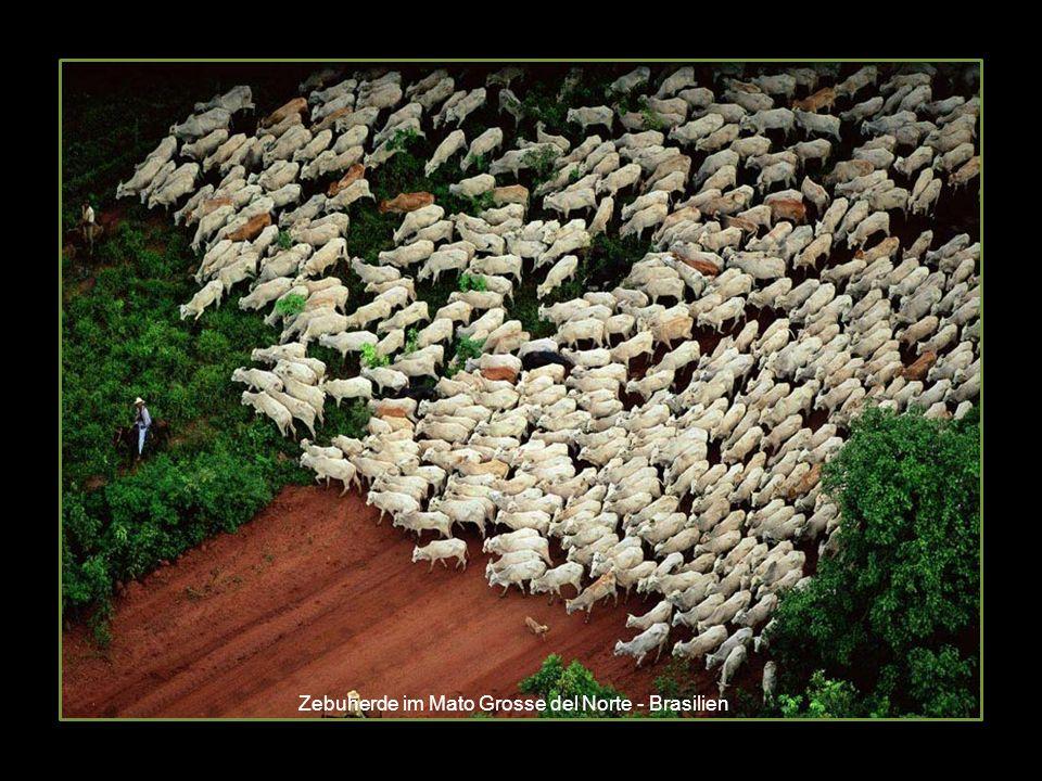 Zebuherde im Mato Grosse del Norte - Brasilien