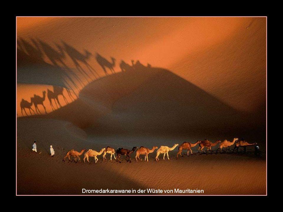 Dromedarkarawane in der Wüste von Mauritanien