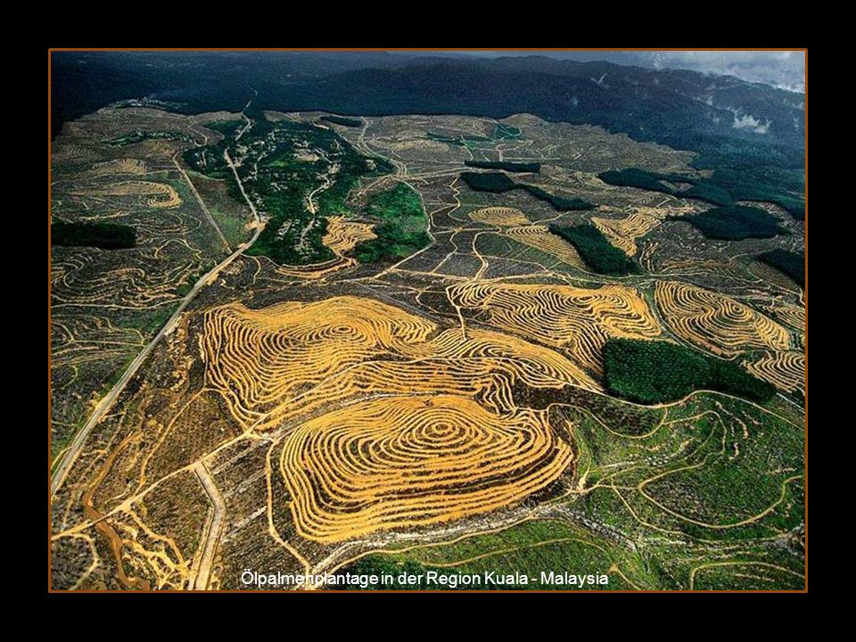 Ölpalmenplantage in der Region Kuala - Malaysia