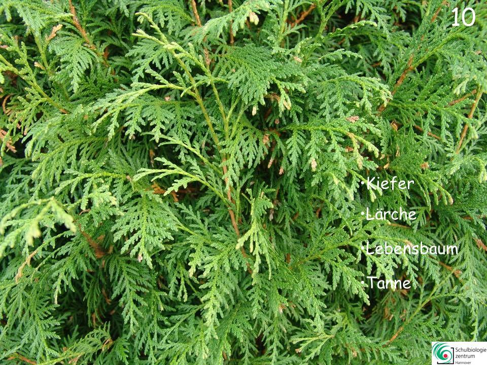 10 Kiefer Lärche Lebensbaum Tanne