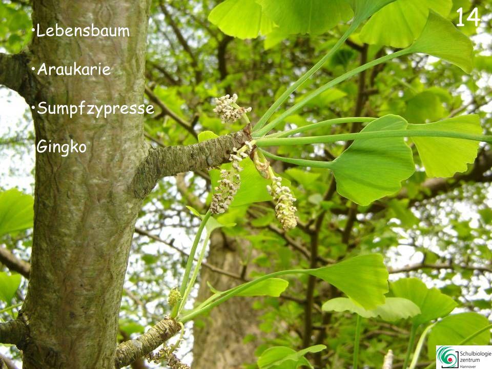 14 Lebensbaum Araukarie Sumpfzypresse Gingko