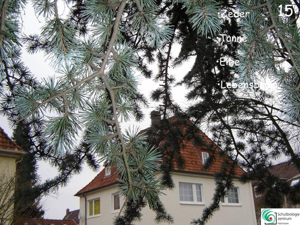 15 Zeder Tanne Eibe Lebensbaum