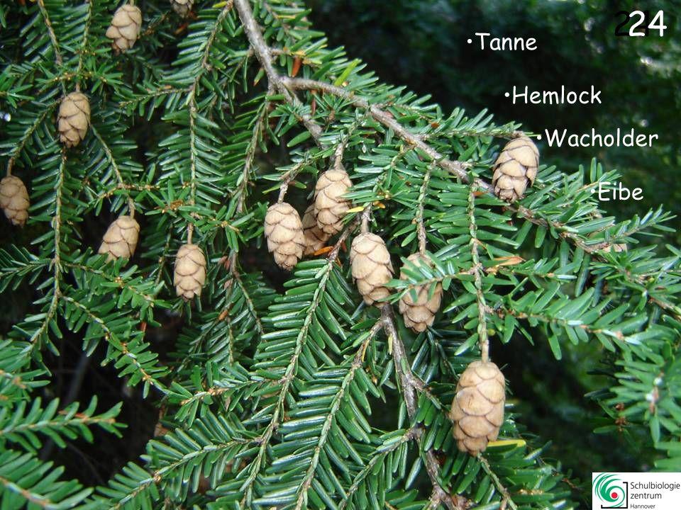 24 24 Tanne Hemlock Wacholder Eibe