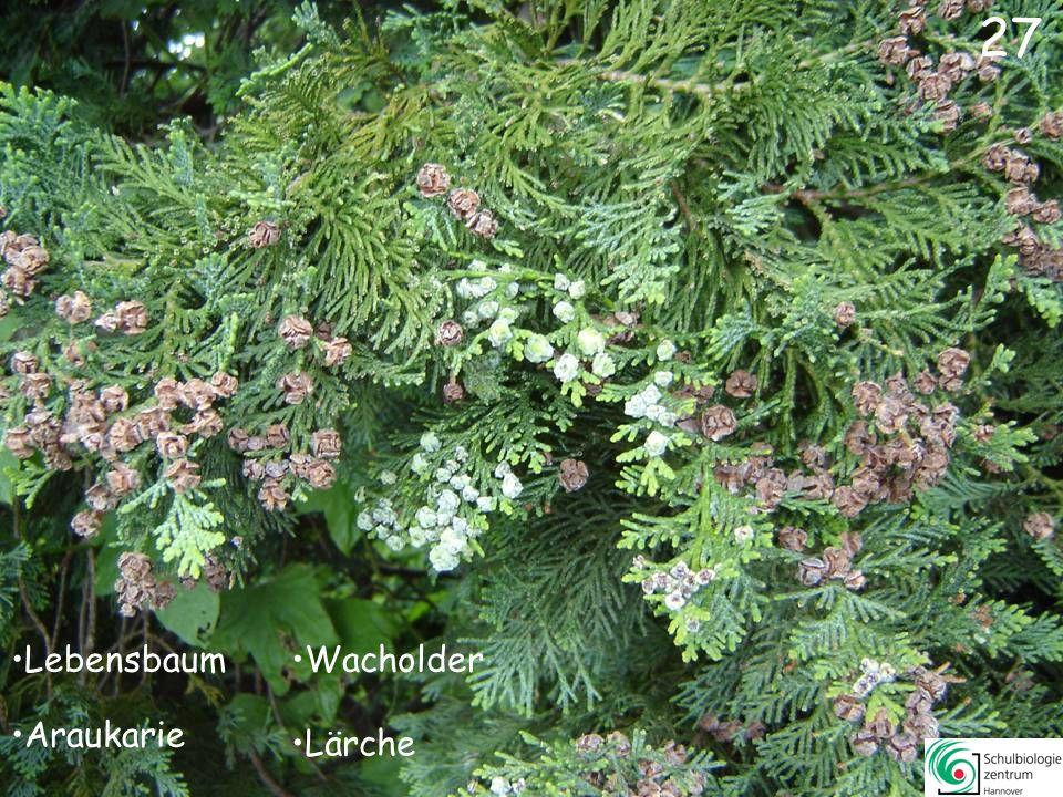 27 Lebensbaum Wacholder Araukarie Lärche
