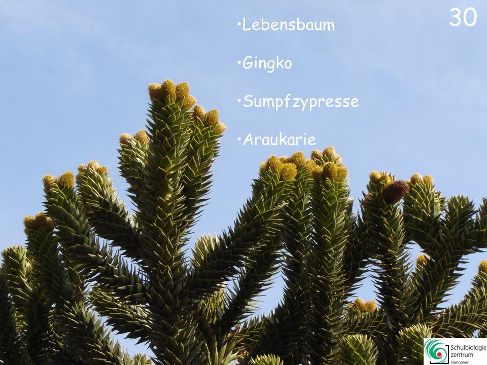 30 Lebensbaum Gingko Sumpfzypresse Araukarie