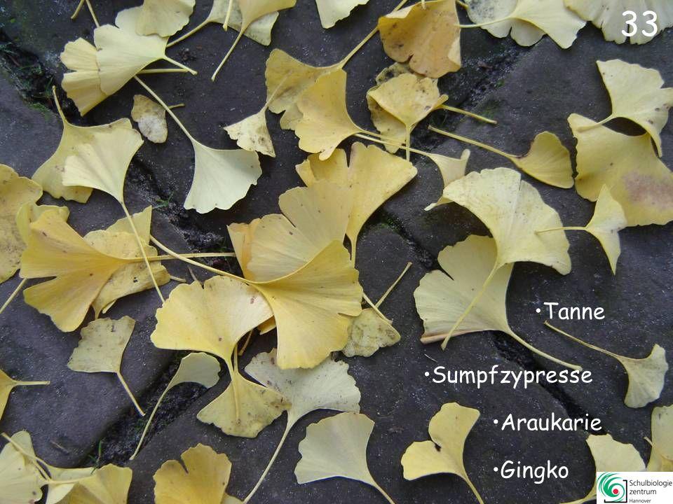 33 Tanne Sumpfzypresse Araukarie Gingko