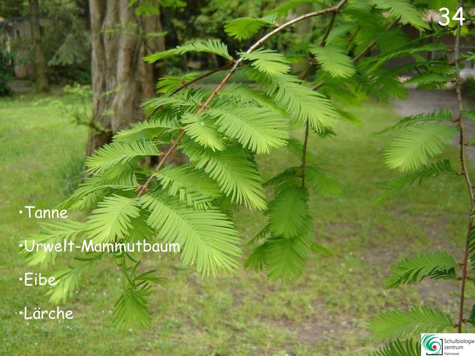34 Tanne Urwelt-Mammutbaum Eibe Lärche