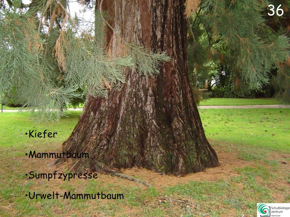 36 Kiefer Mammutbaum Sumpfzypresse Urwelt-Mammutbaum
