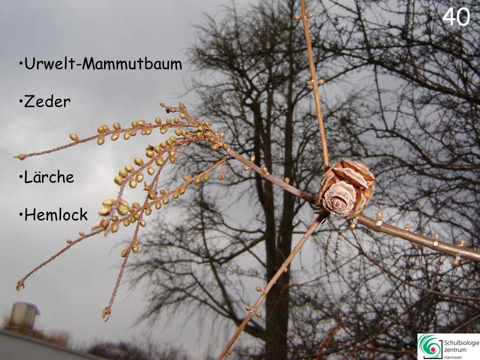 40 Urwelt-Mammutbaum Zeder Lärche Hemlock