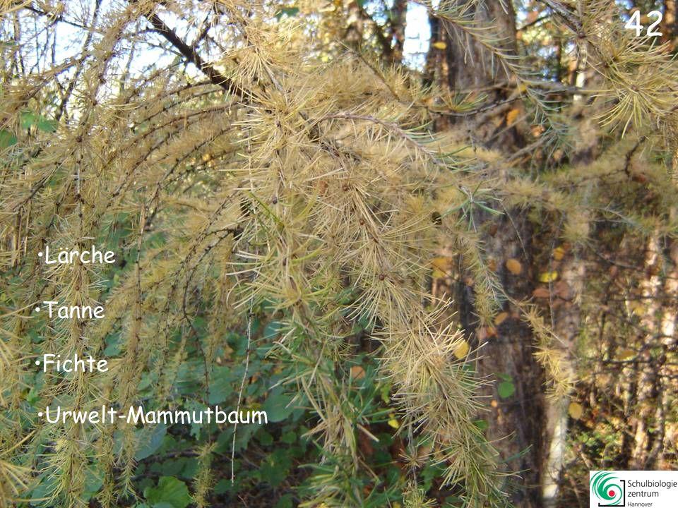 42 Lärche Tanne Fichte Urwelt-Mammutbaum
