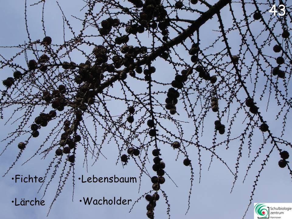 43 Fichte Lebensbaum Lärche Wacholder
