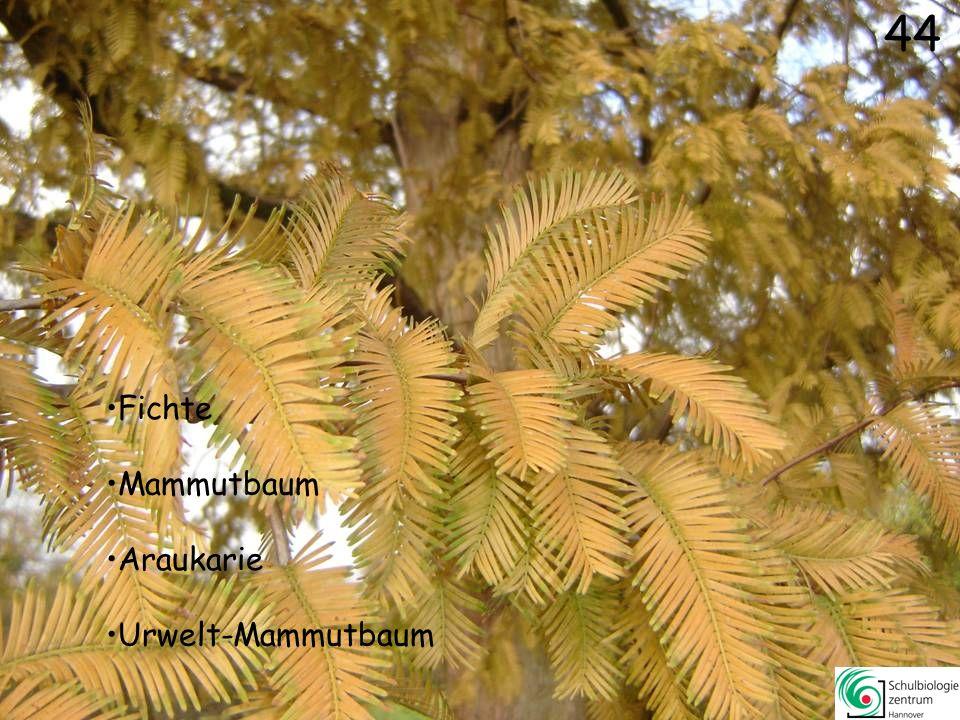 44 Fichte Mammutbaum Araukarie Urwelt-Mammutbaum