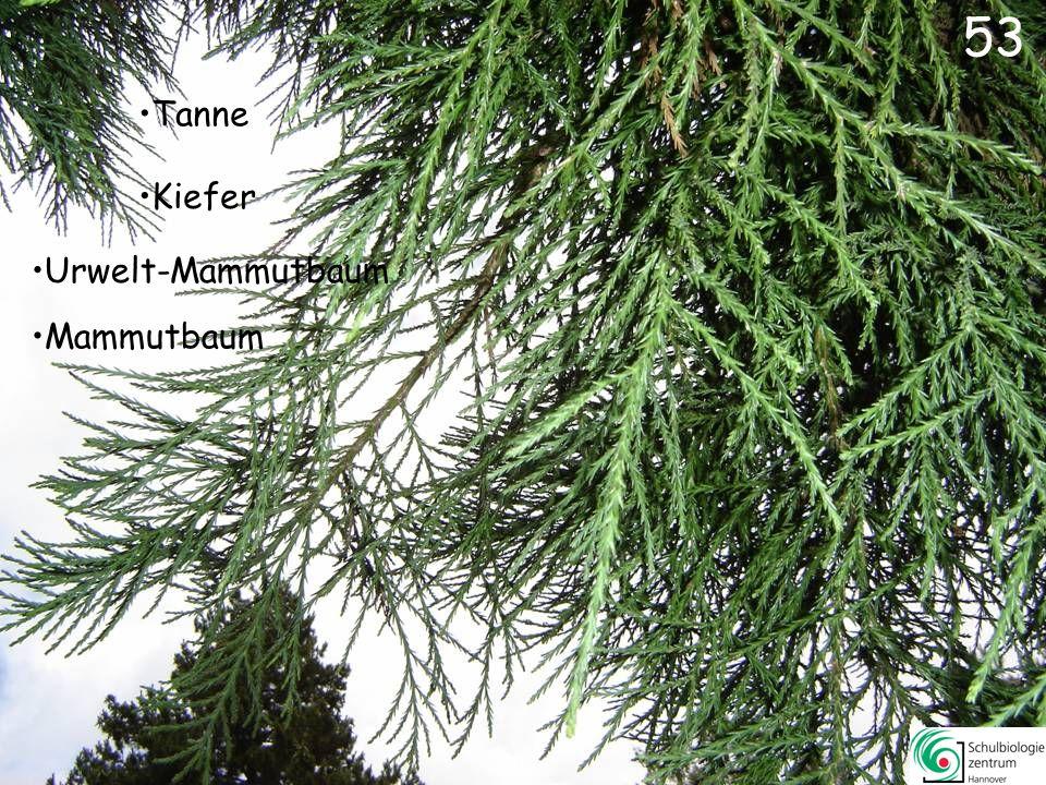 53 Tanne Kiefer Urwelt-Mammutbaum Mammutbaum