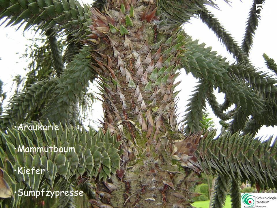 56 Araukarie Mammutbaum Kiefer Sumpfzypresse