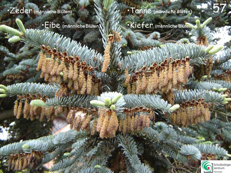 57 Zeder (männliche Blüten) Tanne (männliche Blüten)