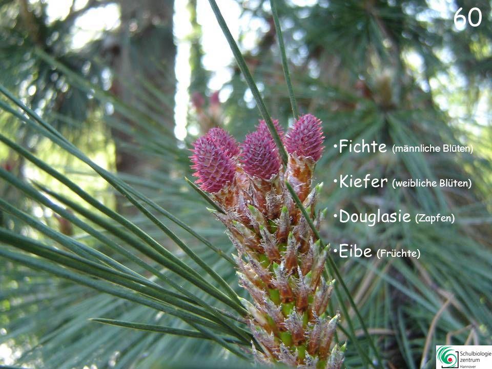 60 Fichte (männliche Blüten) Kiefer (weibliche Blüten)
