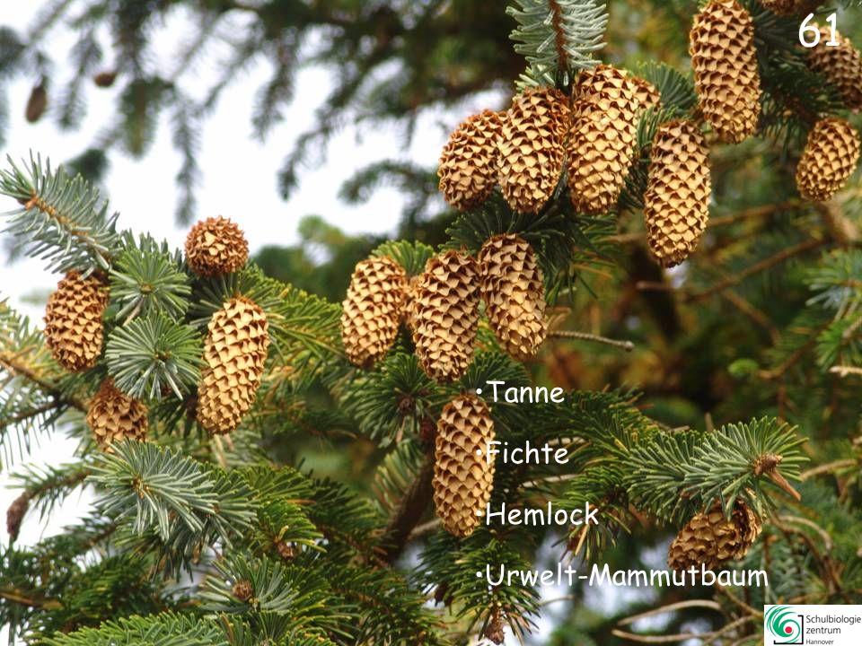 61 Tanne Fichte Hemlock Urwelt-Mammutbaum
