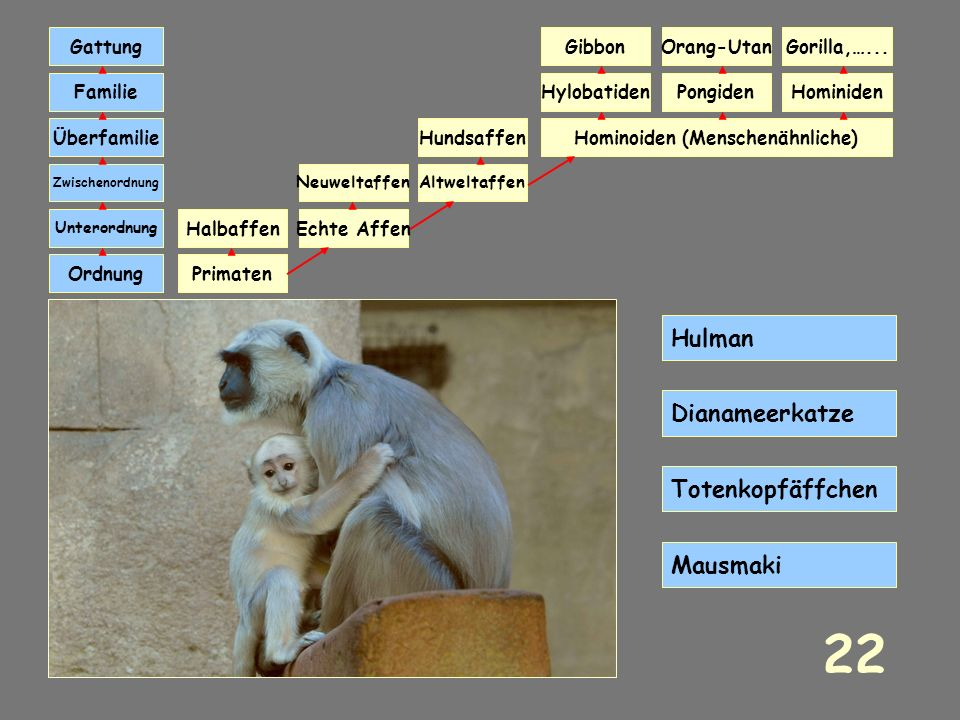 Hominoiden (Menschenähnliche)