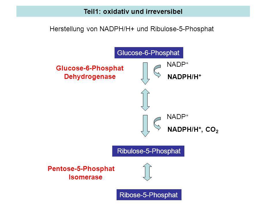 Teil1: oxidativ und irreversibel Glucose-6-Phosphat Dehydrogenase