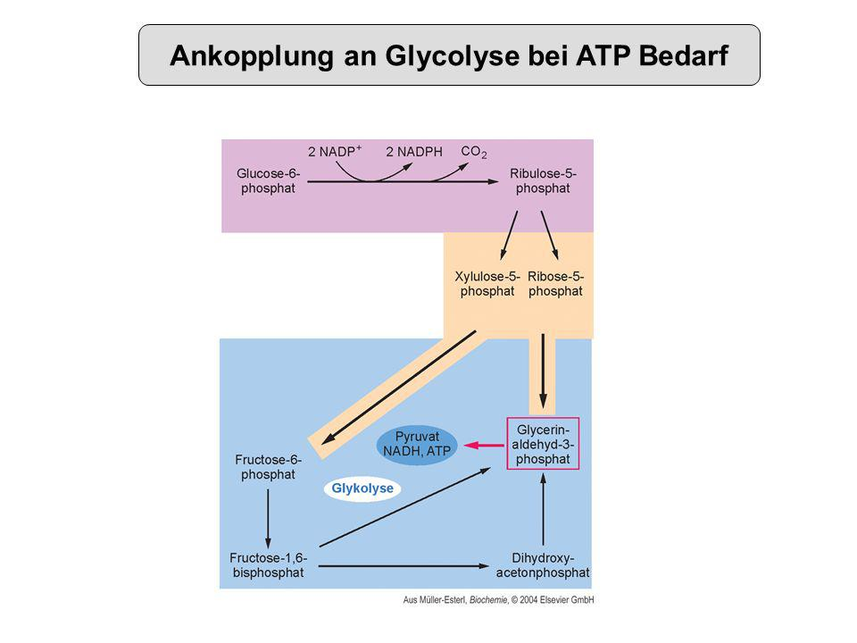 Ankopplung an Glycolyse bei ATP Bedarf