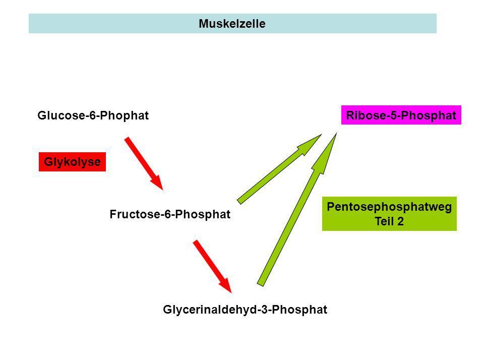 Muskelzelle Glucose-6-Phophat. Ribose-5-Phosphat. Glykolyse. Pentosephosphatweg. Teil 2. Fructose-6-Phosphat.