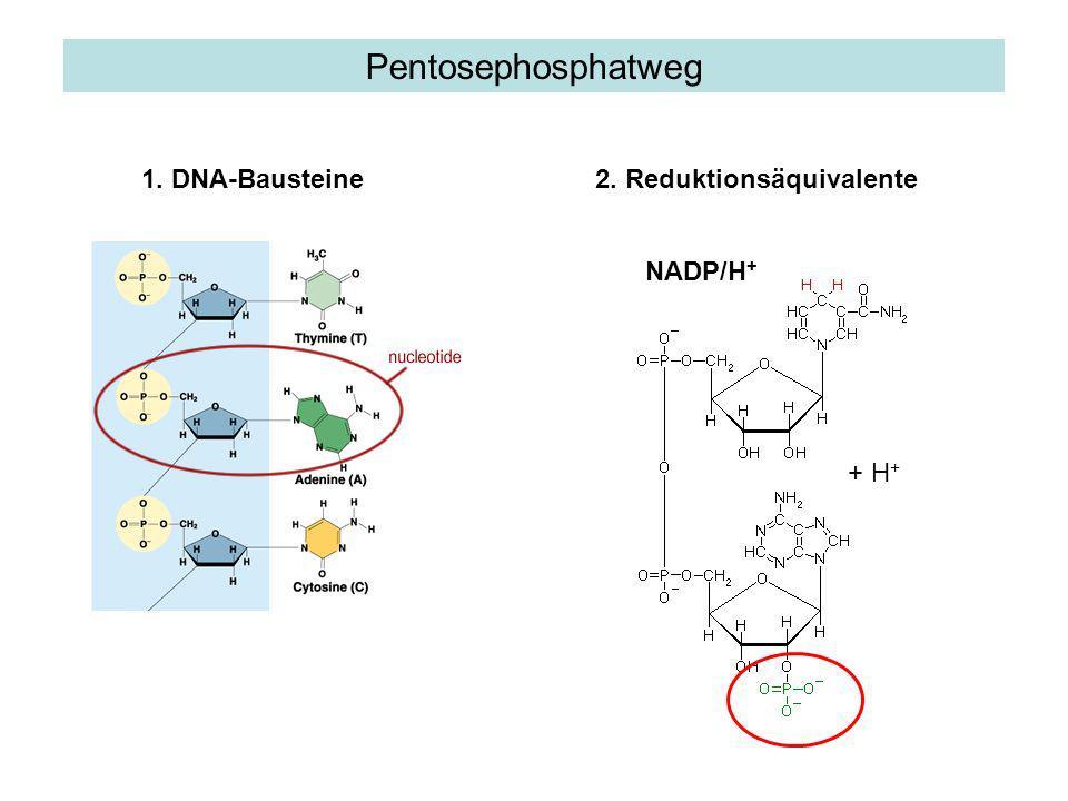 Pentosephosphatweg 1. DNA-Bausteine 2. Reduktionsäquivalente NADP/H+