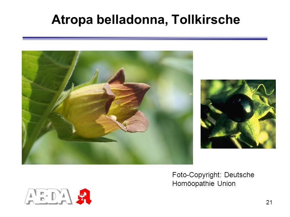 Atropa belladonna, Tollkirsche