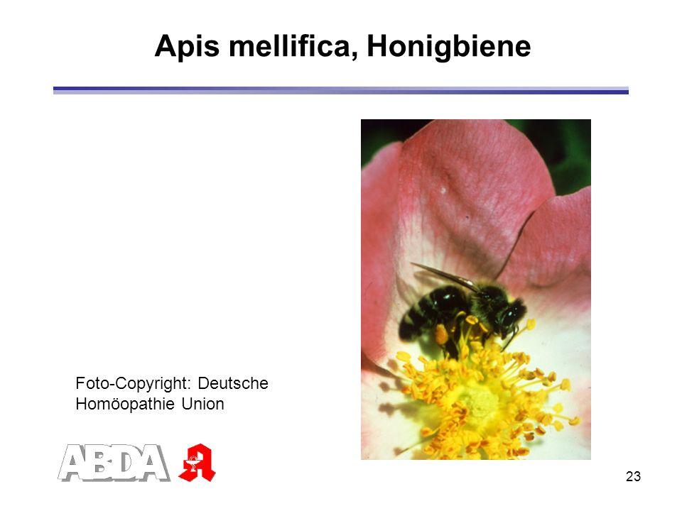 Apis mellifica, Honigbiene
