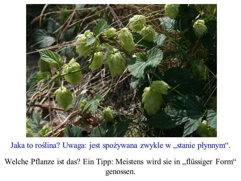 """Jaka to roślina Uwaga: jest spożywana zwykle w """"stanie płynnym ."""