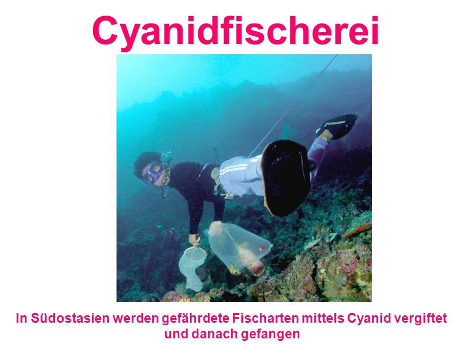 In Südostasien werden gefährdete Fischarten mittels Cyanid vergiftet