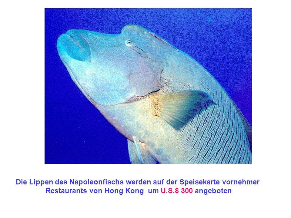 Die Lippen des Napoleonfischs werden auf der Speisekarte vornehmer