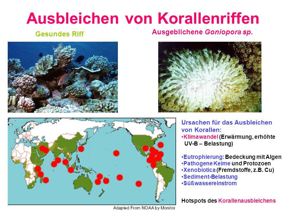 Ausbleichen von Korallenriffen