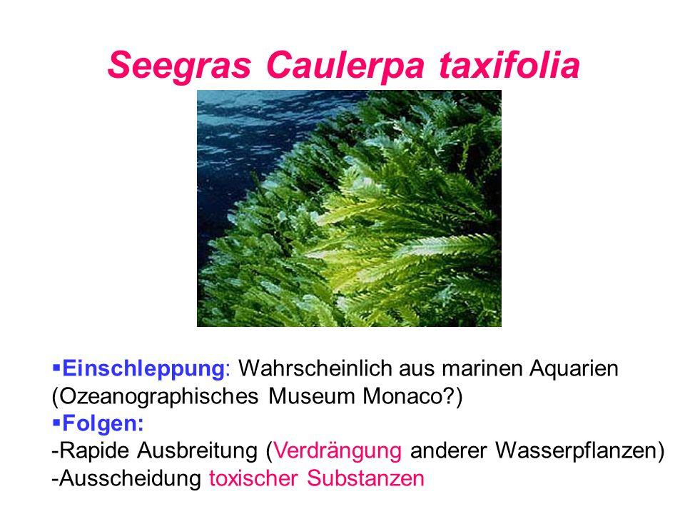 Seegras Caulerpa taxifolia
